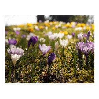 La primavera de prado con azafrán en Gegenlicht Postal