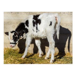 La vaca del bebé come el almuerzo en The Sun Postal