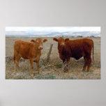 La vaca grande observa - ganado rojo - occidental póster