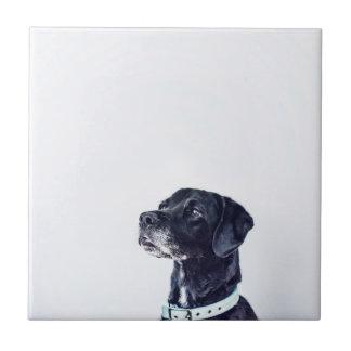 Labrador retriever negro adaptable azulejo