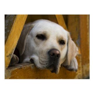 Labrador retriever rubio, Patagonia, Chile Postal
