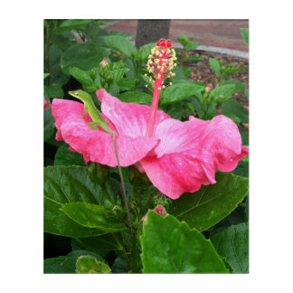 Lagarto de Anole en la fotografía rosada del Impresión Acrílica