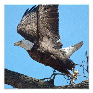 Lanzamiento de Eagle calvo Fotografia