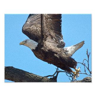 Lanzamiento de Eagle calvo Arte Fotográfico