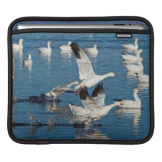 Lanzamiento de los gansos de nieve (Chen Mangas De iPad