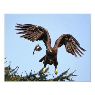 Lanzamiento juvenil de Eagle calvo Arte Fotográfico