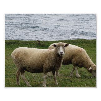 Las ovejas largas de las lanas de Devon en Devon d Fotografías