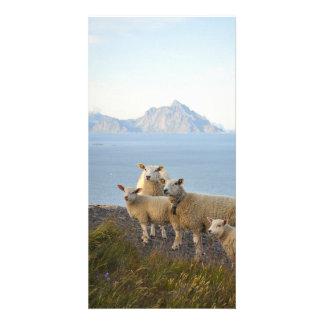 Las ovejas y los corderos en la montaña rematan en tarjeta