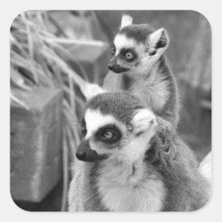 lemur Anillo-atado con el bebé blanco y negro Pegatina Cuadrada