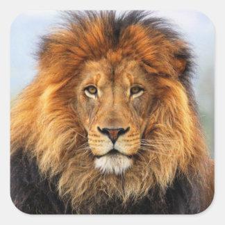 León africano 1 pegatina cuadrada