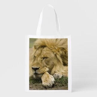 León africano, Panthera leo, fijación dormida Bolsa De La Compra