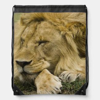 León africano, Panthera leo, fijación dormida Mochila