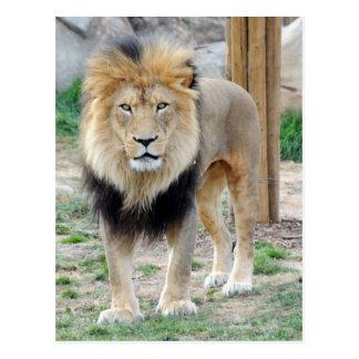 León africano postal