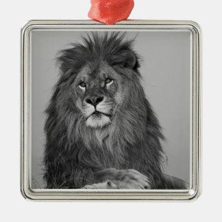 León africano que descansa sobre el acantilado de  ornamentos de reyes
