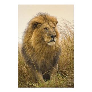 León crinado del negro del viejo adulto, juego de  fotografia