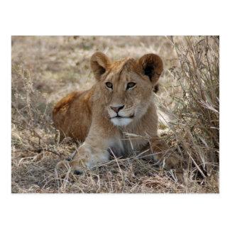 León Cub en la hierba Postal