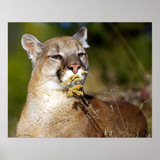 León de montaña - oler las flores poster