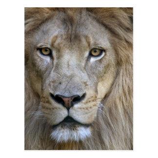 León en el parque zoológico de Sacramento, CA del  Tarjeta Postal