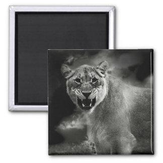 León enojado en blanco y negro imán de frigorífico