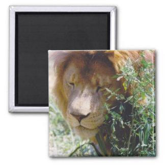 León Imán Para Frigorifico