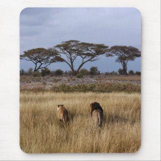 Leones en una África llana Alfombrilla De Ratón