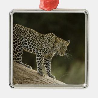 Leopardo africano, pardus del Panthera, en un árbo Adorno Para Reyes