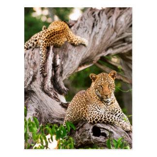 Leopardo maduro (Panthera Pardus) Cub Postal