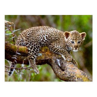Leopardo viejo de tres meses (Panthera Pardus) Cub Postal