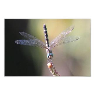 Libélula de Thornbush Dasher, alas que brillan Foto