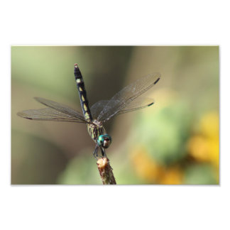 Libélula de Thornbush Dasher, girasoles borrosos Foto
