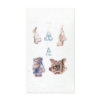 Lienzo Anatomía del vintage de la nariz y de los sinos