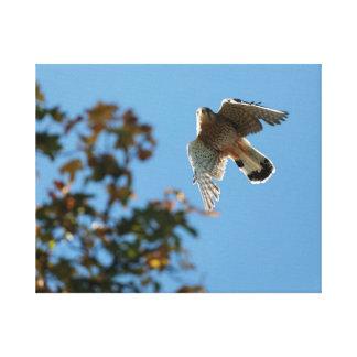 Lienzo Cernícalo eurasiático (tinnunculus de Falco) en