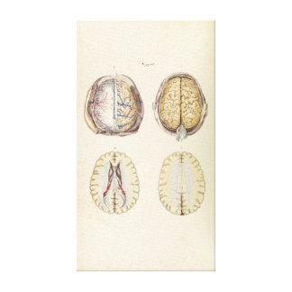 Lienzo Ejemplo del vintage del cerebro humano