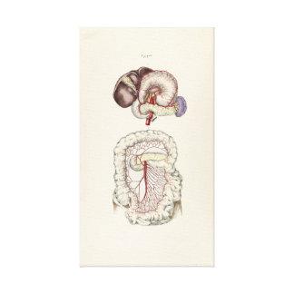 Lienzo Ejemplo del vintage del sistema digestivo humano