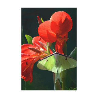 Lienzo Polilla de Luna en la flor de Canna