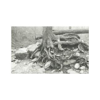 Lienzo Raíces blancos y negros del árbol de la fotografía