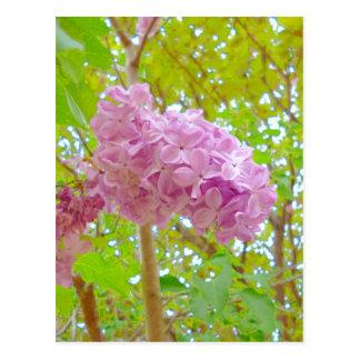 Lilac、紫丁香花(むらさきはしどい) Postal