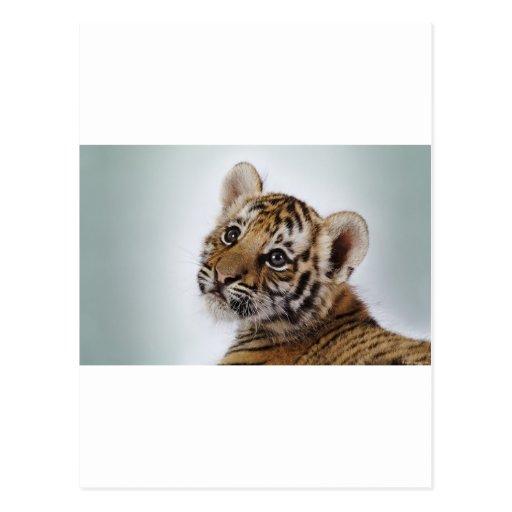 Lindo-pequeño-tigre Postales