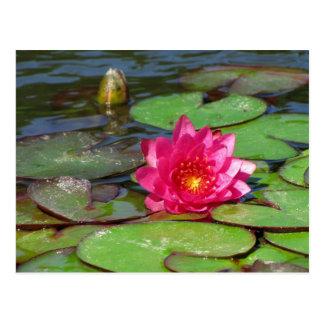 Lirio de agua del rosa de jardines hundidos 10 postal