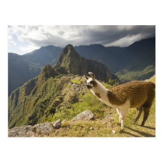Llamas y una mirada excesiva de Machu Picchu, Postal
