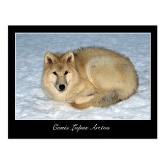 Lobo ártico de la foto (lobo polar, White Wolf) Postal