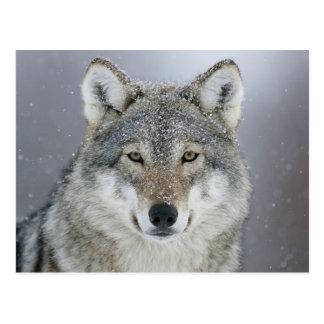 Lobo despredador postal