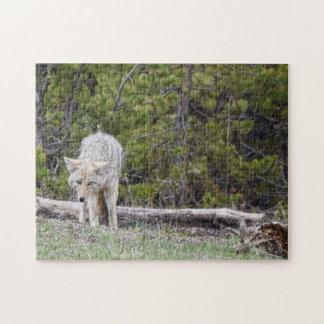 Lobo en el rompecabezas de Yellowstone