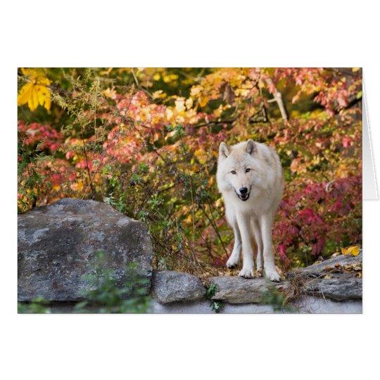 Lobo gris curioso tarjeta pequeña