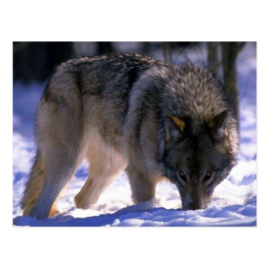 Lobo gris en el borde del bosque nevoso, contacto postal