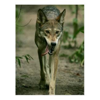 Lobo rojo postal