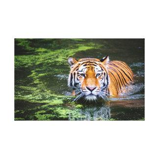 Lona del tigre de la natación lienzo