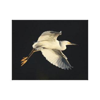 Lona envuelta - flyby del egret nevado impresión en lienzo