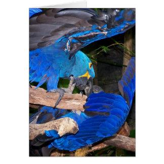 Loros azules del macaw que luchan la imagen de la tarjeta