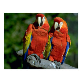 Loros del Amazonas Postal